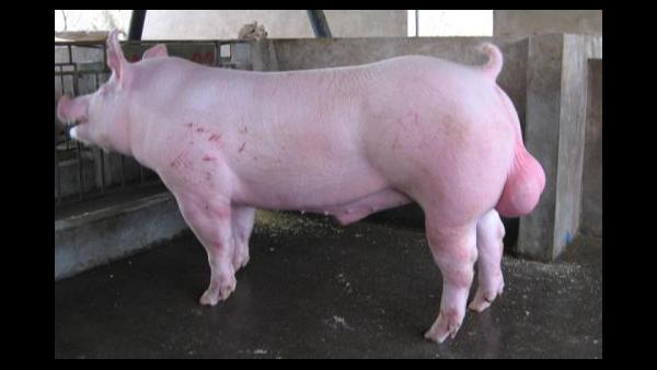 温度对猪精品质影响如何消除?如何防治?