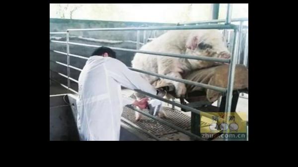 种猪采精的详细步骤