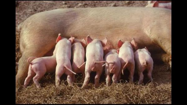 母猪产仔少的几个原因剖析,饲养,年龄,管理?